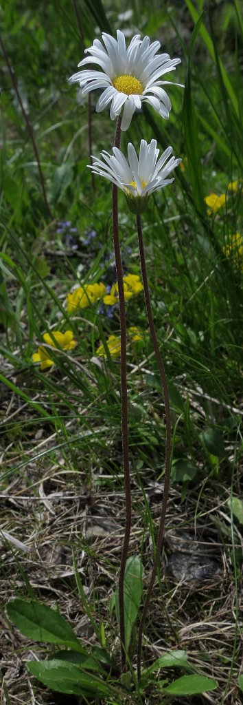 Aster bellidastrum (Micheli's Daisy