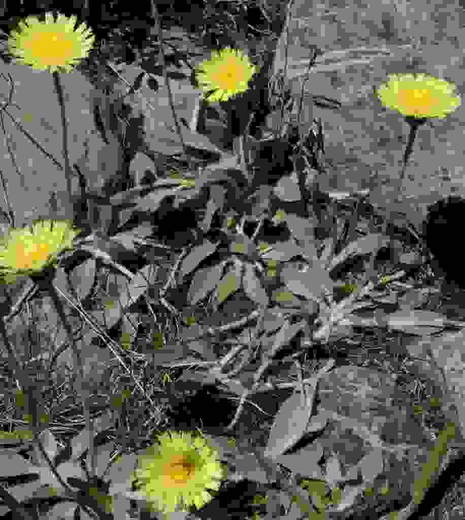 Hieracium pilosella (Mouse-ear Hawkweed)