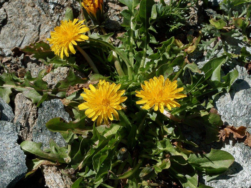Taraxacum alpinum (Alpine Dandelion)