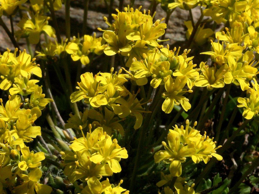 Draba aizoides (Yellow Whitlowgrass)