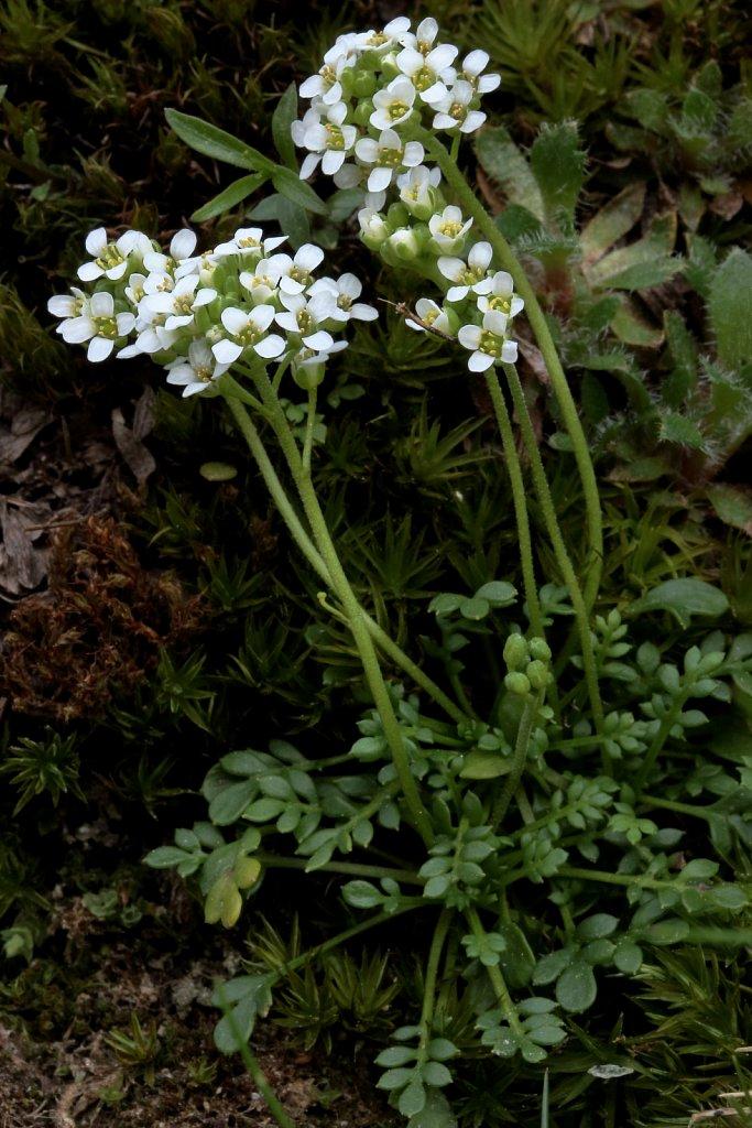 Pritzelago alpina ssp brevicaulis (Alpine Hutchinsia)