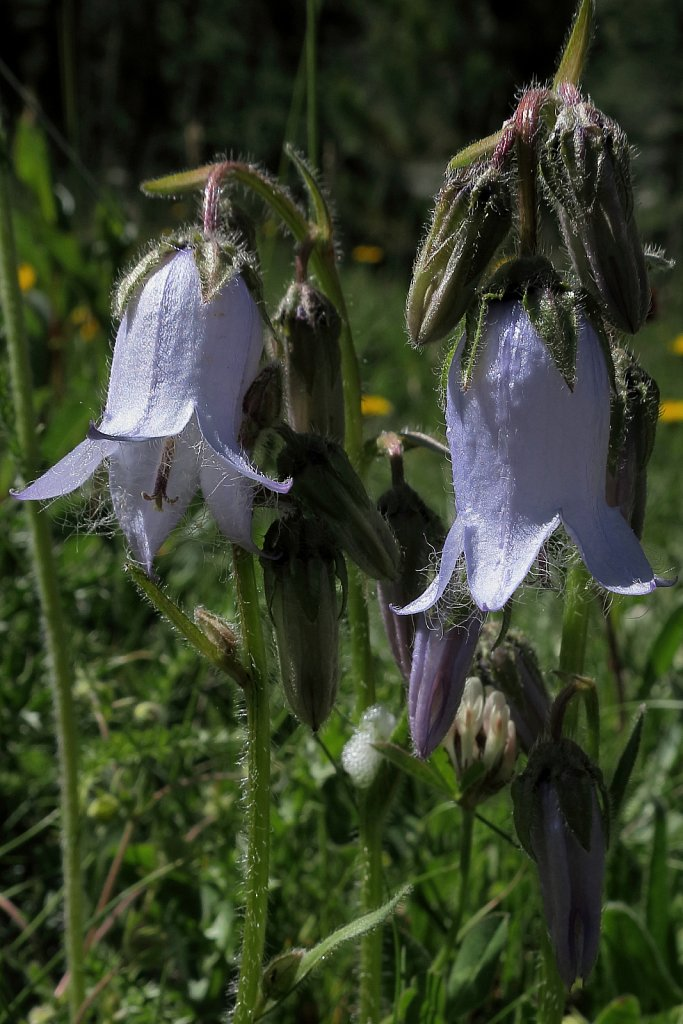 Campanula barbata (Bearded Bellflower)
