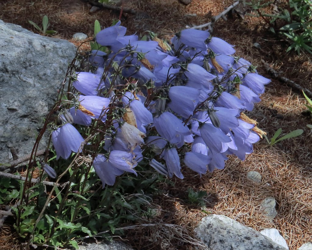 Campanula cochlearifolia (Small Belflower)