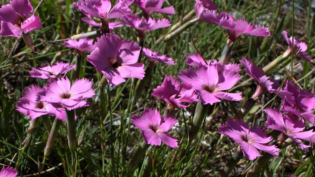 Dianthus sylvestris (Wood Pink)