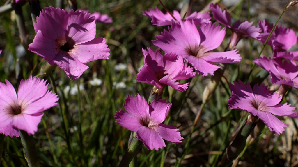Caryophyllaceae (Pinks)