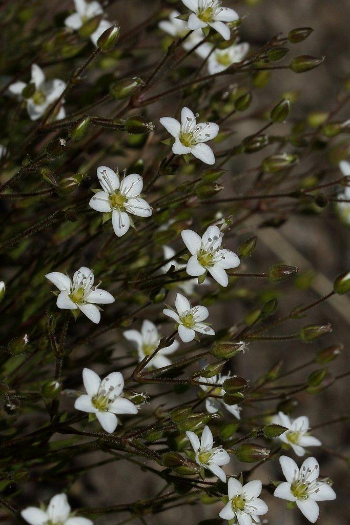 Minuartia verna (Spring Sandwort)