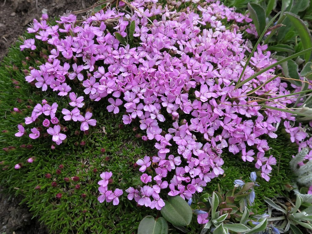 Silene exscapa (Scapeless Moss Campion)