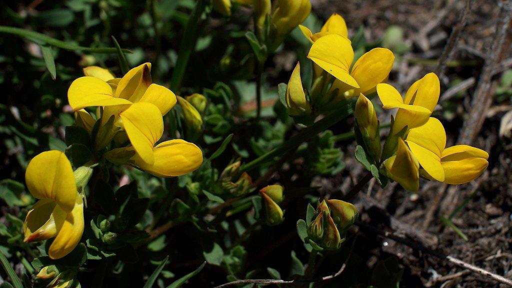 Lotus corniculatus (Common Bird's-foot-trefoil)