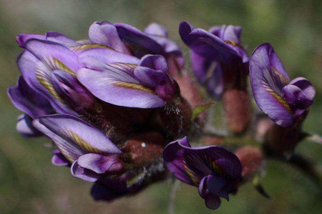 Oxytropis halleri ssp velutina (Haller's Oxytropis)