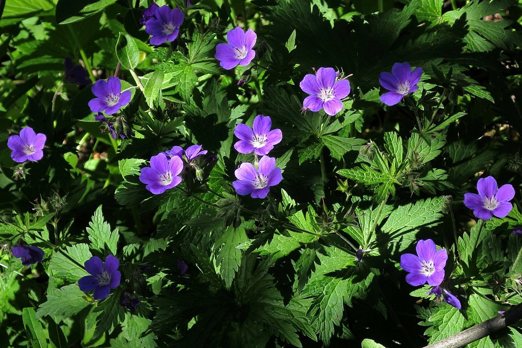 Geranium sylvaticum (Wood Crane's-bill)