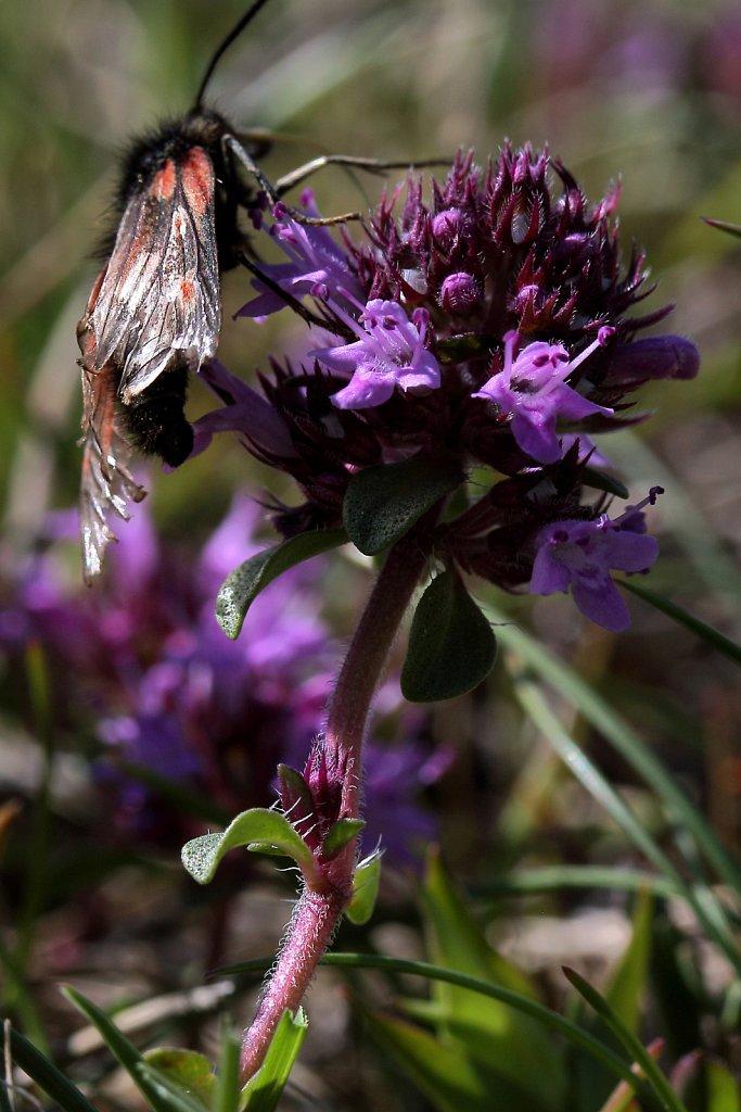 Thymus praecox ssp polytrichus (Wild Thyme)