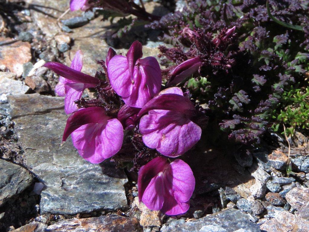 Pedicularis kerneri (Kerner's Lousewort)