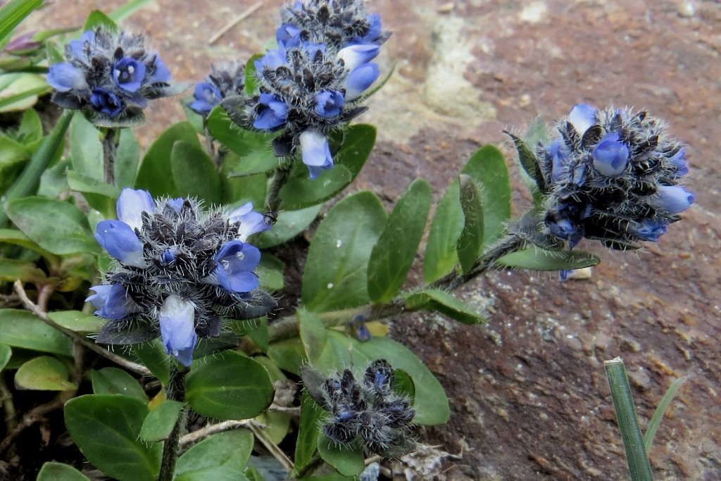 Veronica alpina (Alpine Speedwell)