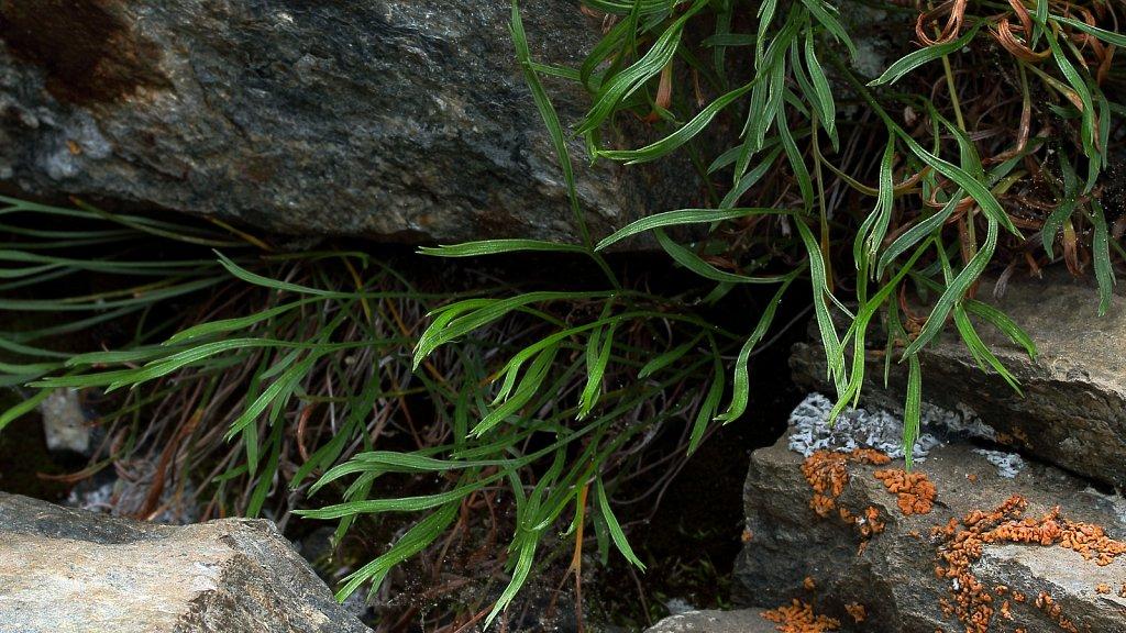 Asplenium septentrionale (Forked Spleenwort)