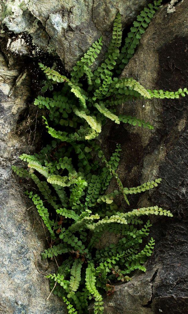 Asplenium viride (Green Spleenwort)