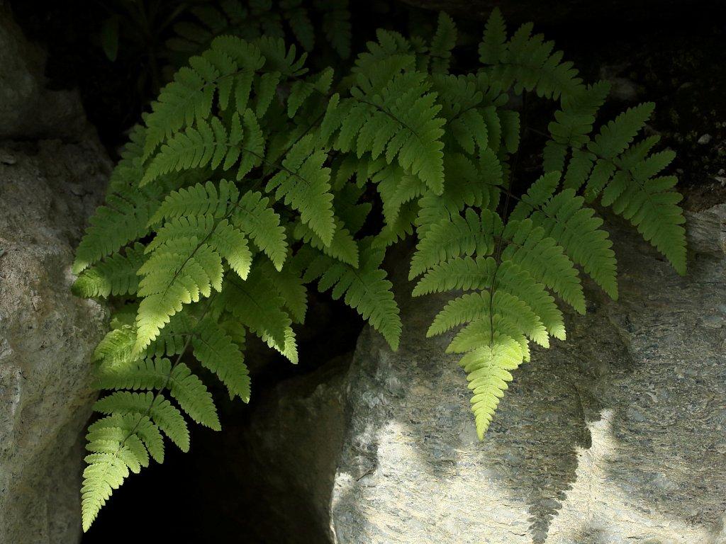 Gymnocarpium robertianum (Limestone Fern)