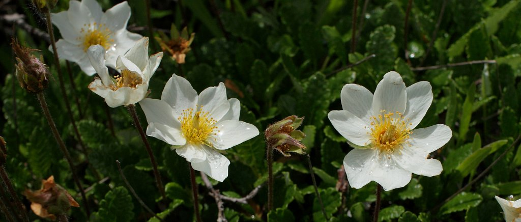 Dryas octopetala (Mountain Avens)