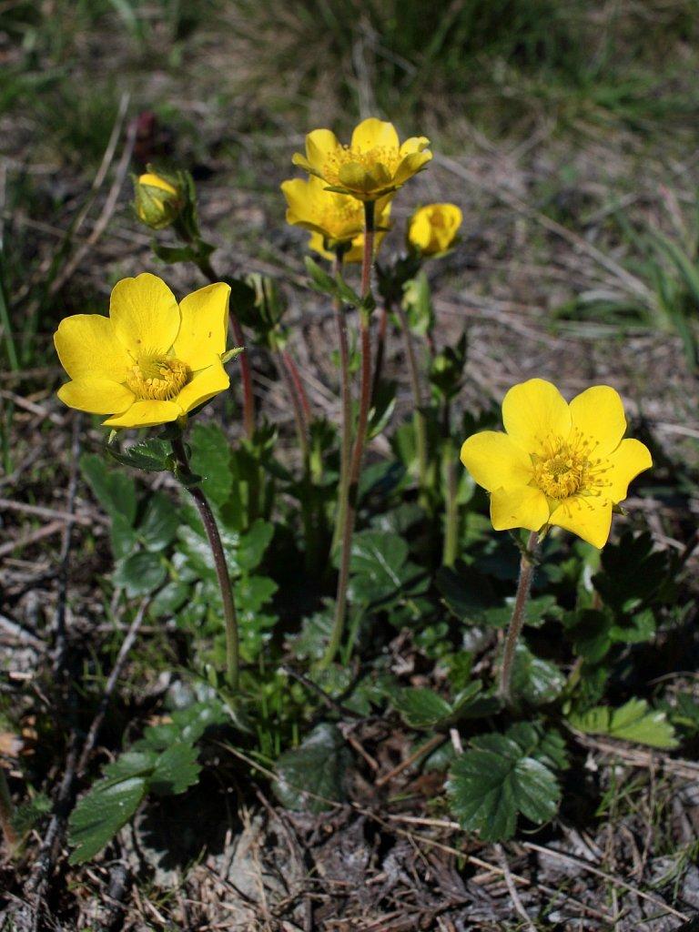 Geum montanum (Alpine Avens)