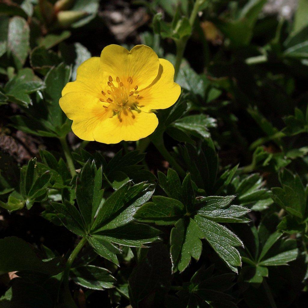 Potentilla aurea (Golden Cinquefoil)