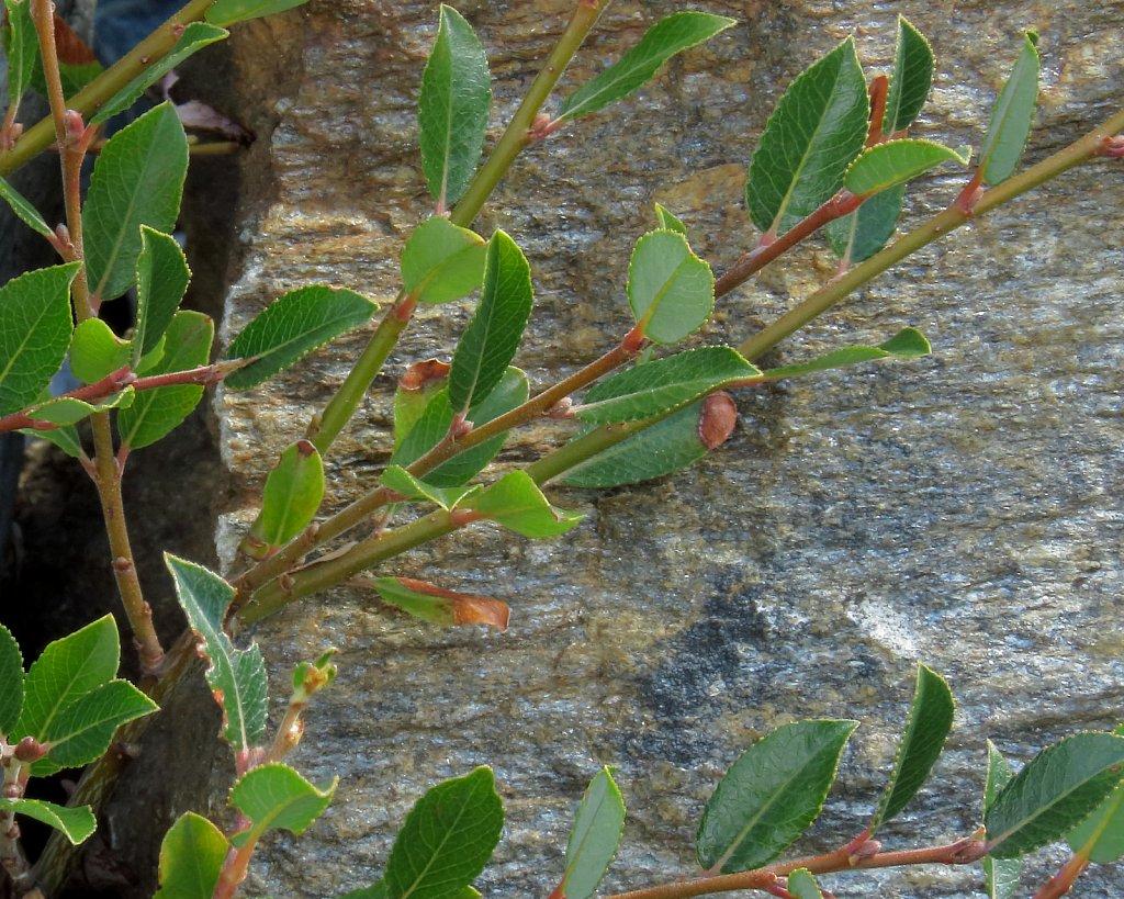Salix foedita (Stinking Willow)
