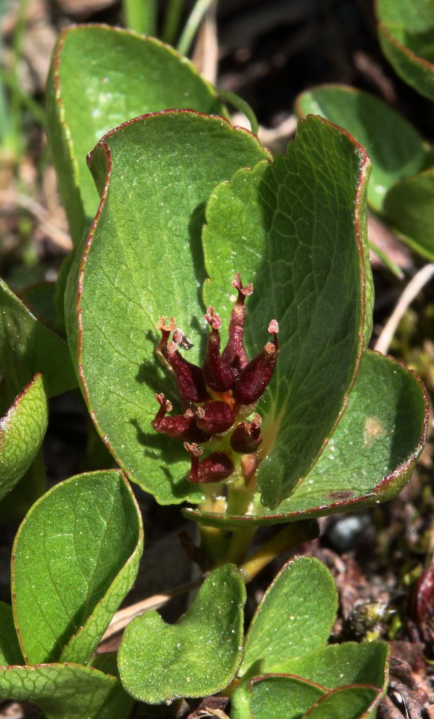 Salix herbacea (Dwarf Willow)