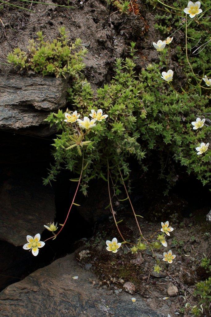 Saxifraga aspera (Rough Saxifrage)
