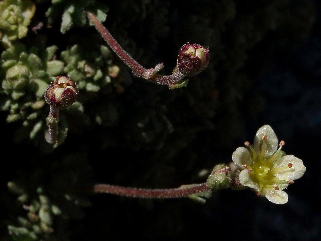 Saxifraga exarata ssp moschata (White Musky Saxifrage)