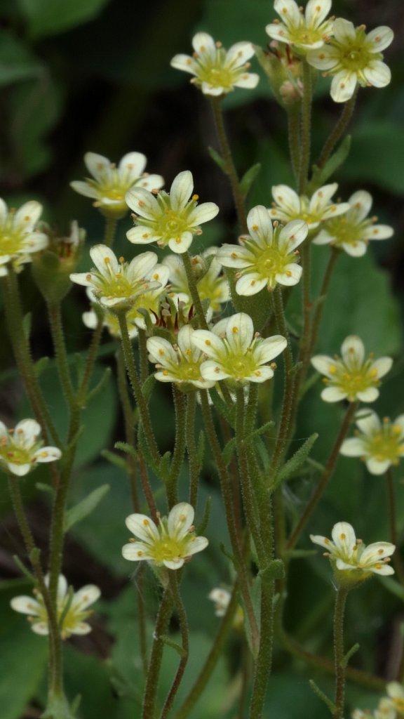 Saxifraga exarata ssp exarata (White Musky Saxifrage)