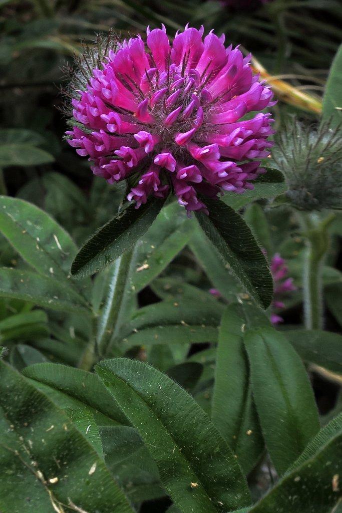 Trifolium alpestre (Hill Clover)