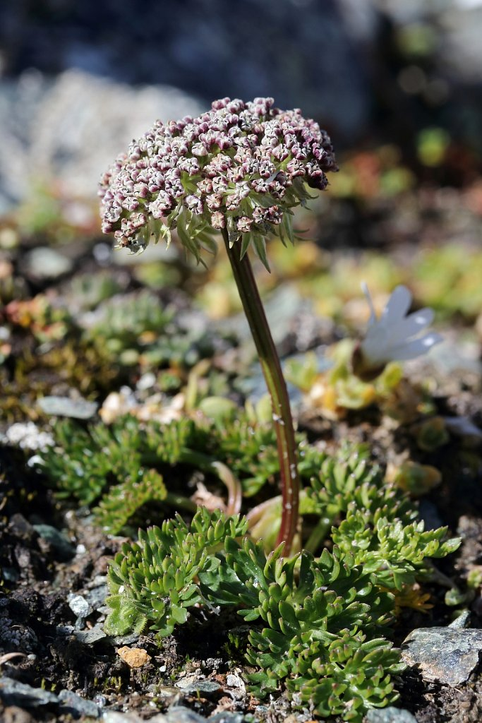 Ligusticum mutellinoides (Dwarf Alpine Lovage)