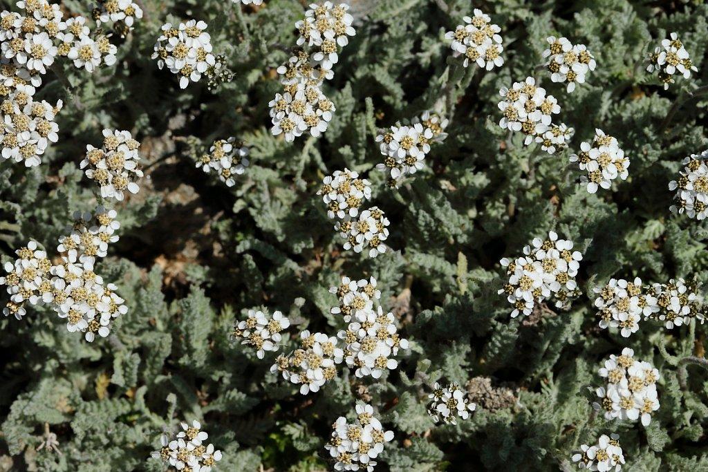 Achillea nana (Dwarf Yarrow)