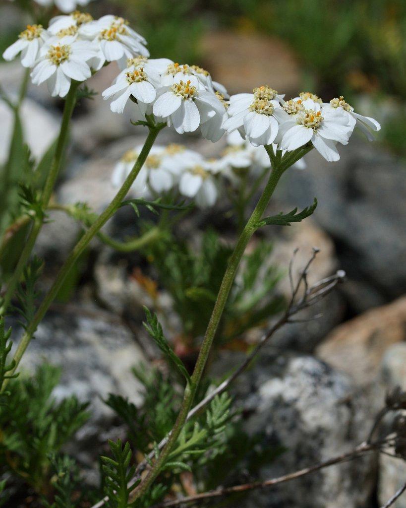 Achillea erba-rotta ssp moschata (Musk Milfoil)