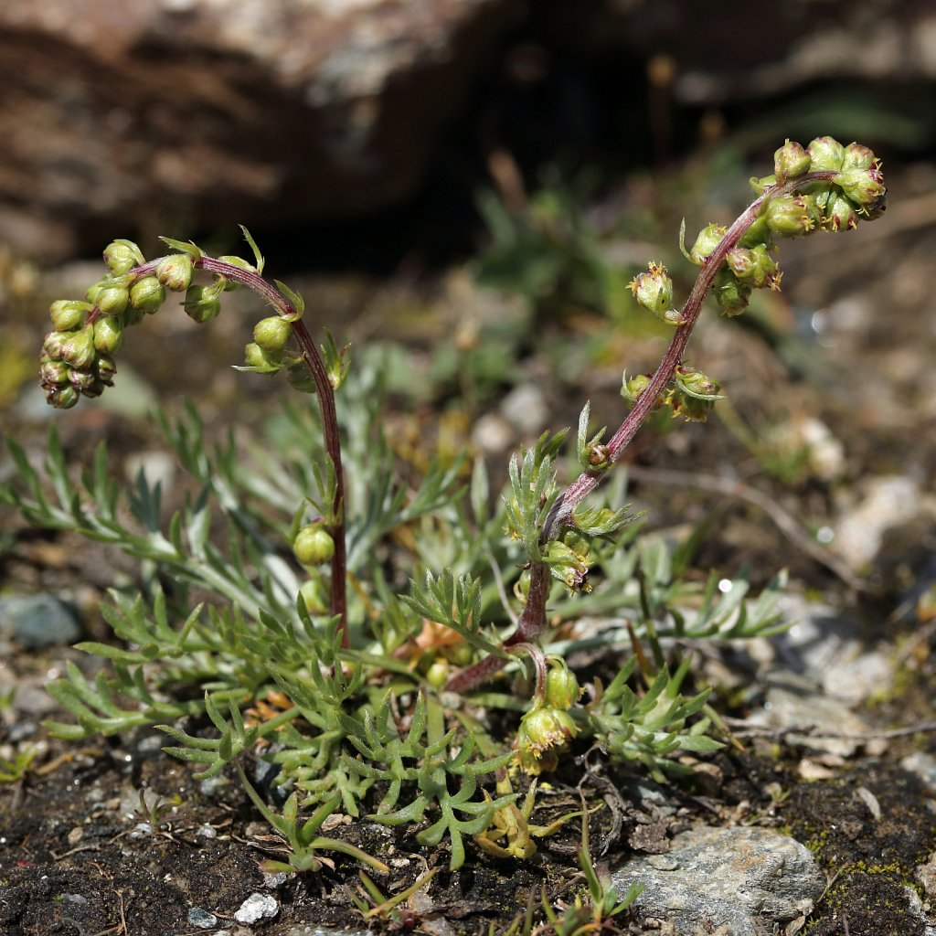 Artemisia borealis (Arctic Wormwood)