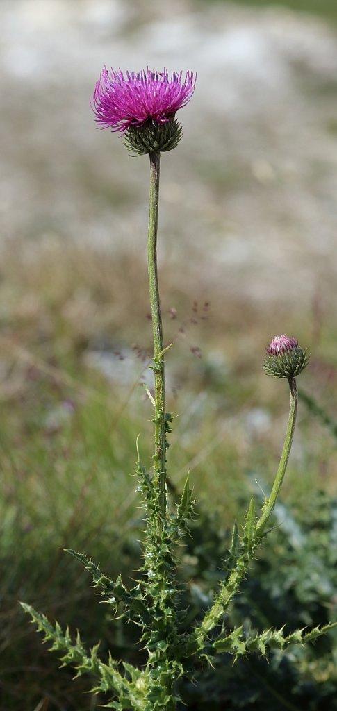 Carduus defloratus ssp tridentinus (Alpine Thistle)