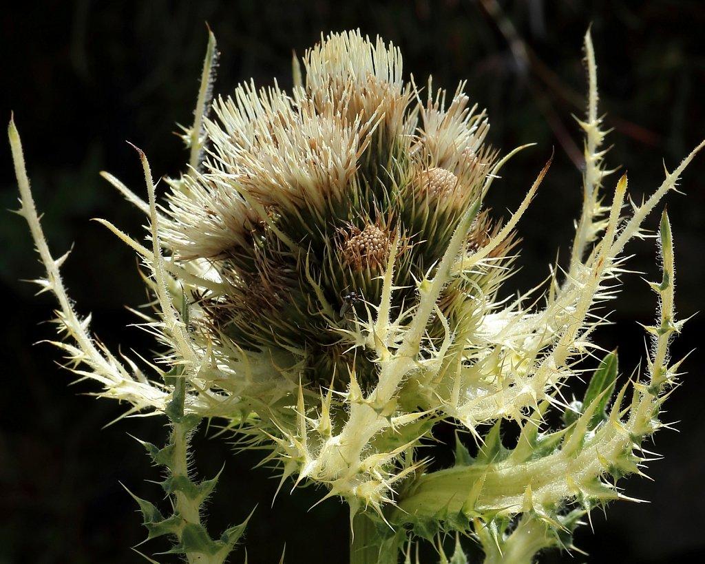 Cirsium spinosissimum (Thorny Thsitle)