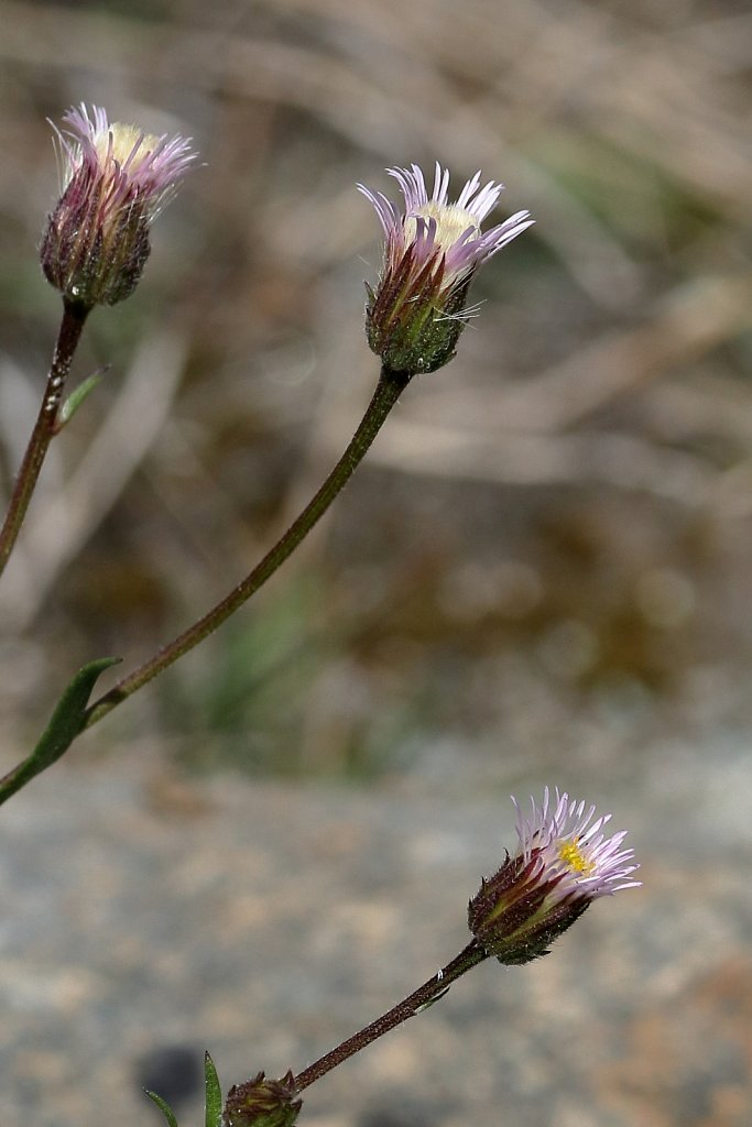 Erigeron acris ssp angulosus (Blue Fleabane)