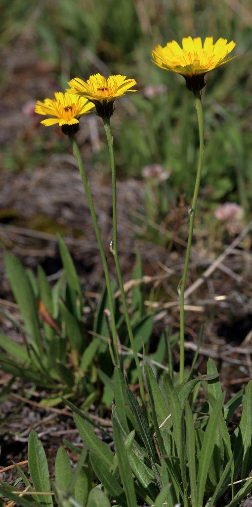 Hieracium staticifolium  (Statice-leaved Hawkweed)