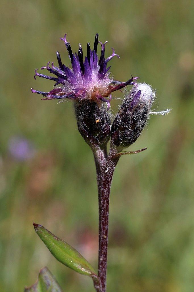 Saussurea alpina (Alpine Saw-wort)