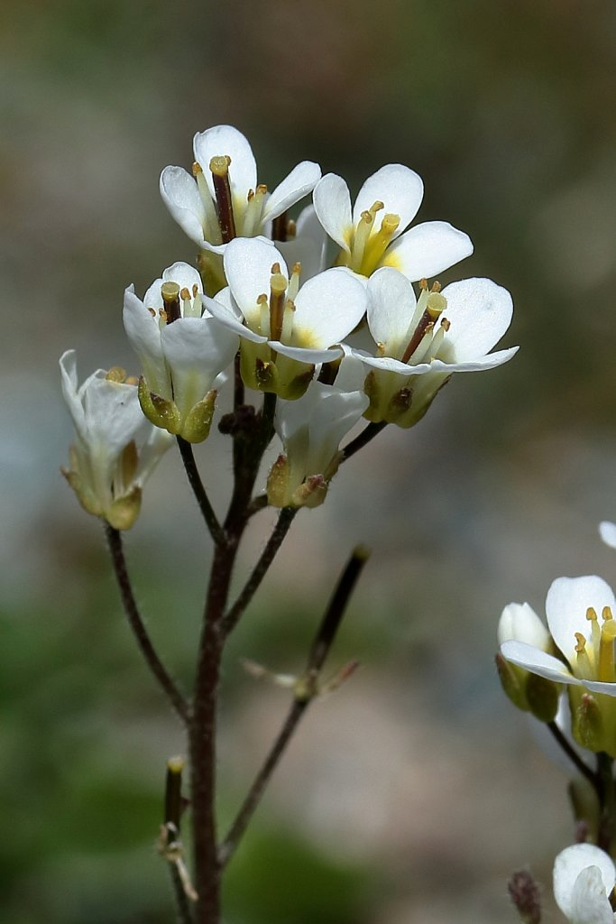 Arabis alpina (Alpine Rock-cress)