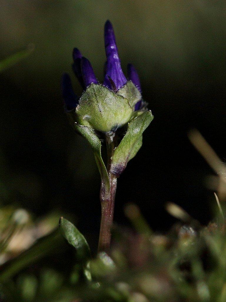 Phyteuma globulariifolium ssp pedemontanum (Globularia-leaved Rampion)
