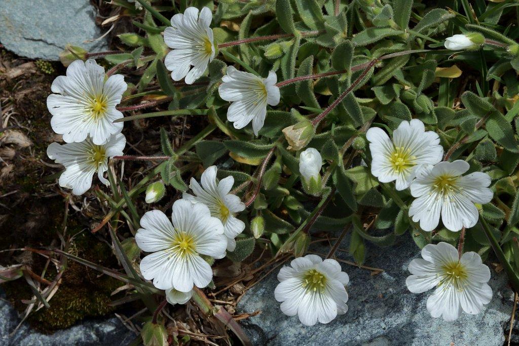 Cerastium latofolium (Broad-leaved Mouse-ear)