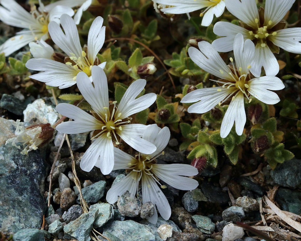 Cerastium uniflorum (Glacier Mouse-ear)