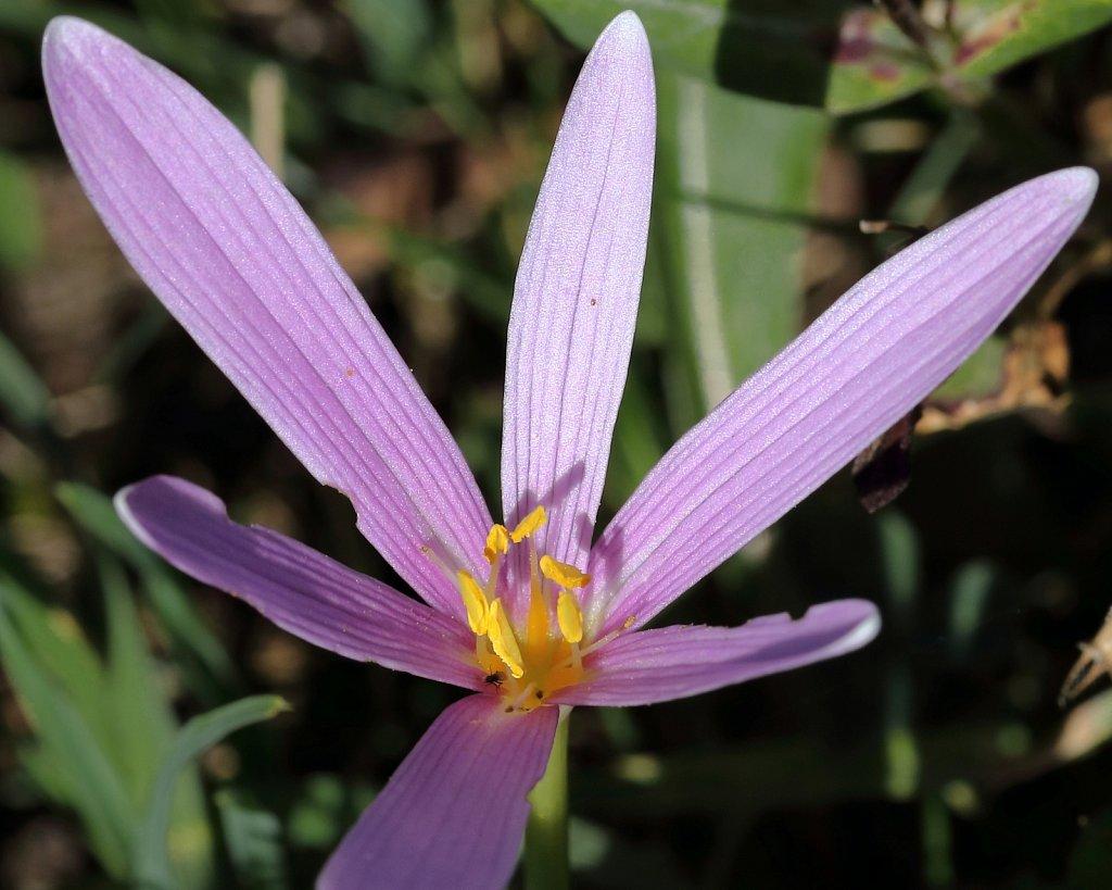 Colchicum alpinum (Alpine Meadow Saffron)