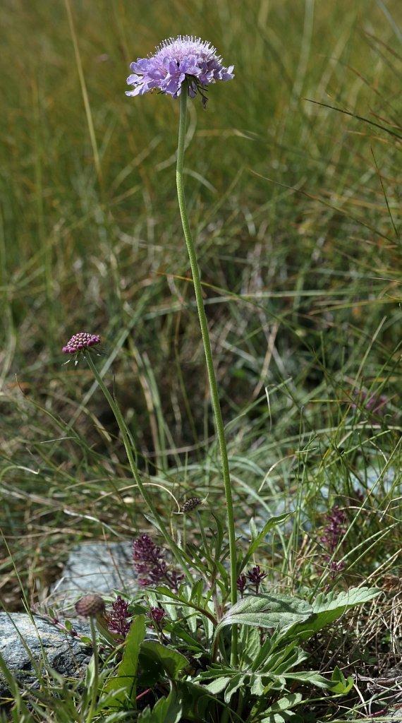 Caprifoliaceae (Honeysuckles)