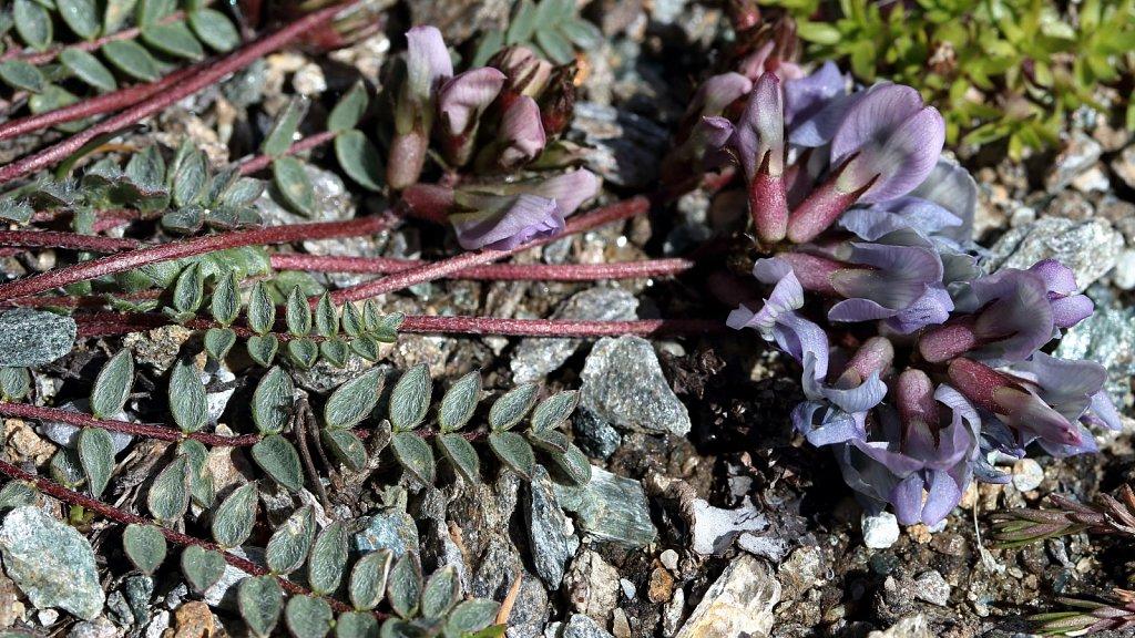 Oxytropis helvetica (Swiss Oxytropis)