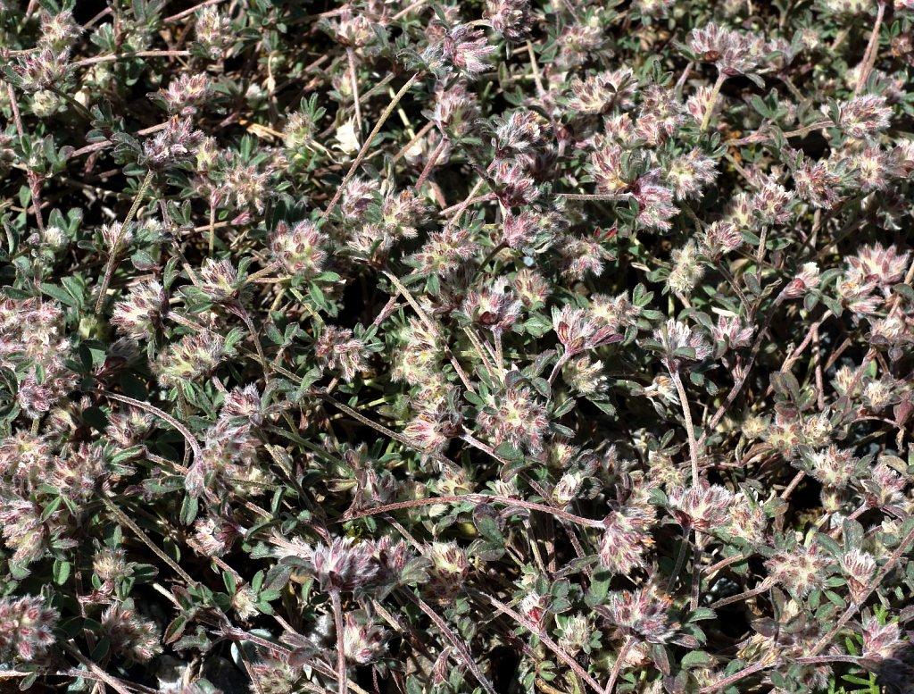 Trifolium saxatile (Rock Clover)