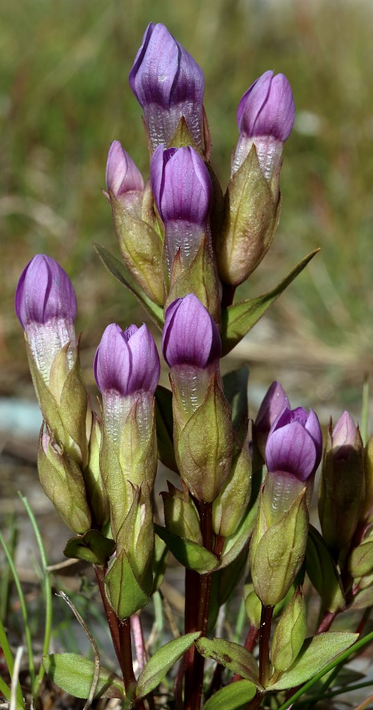 Gentiana campestris (Field Gentian)