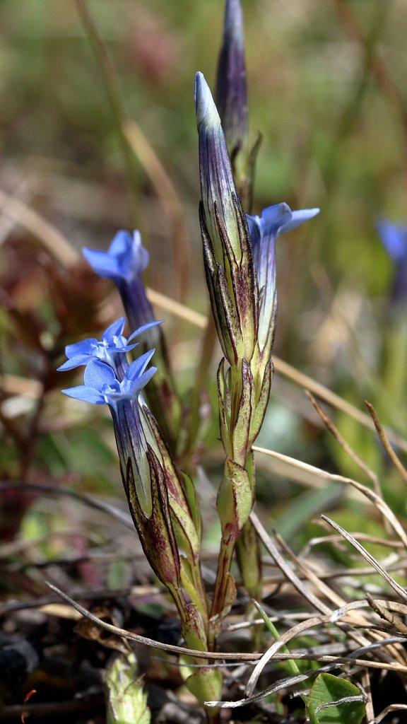 Gentiana nivalis (Snow Gentian)