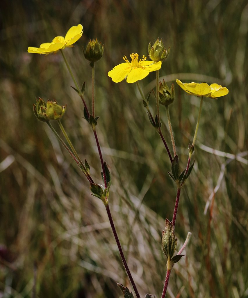 Potentilla grandiflora (Large-flowered Cinquefoil)