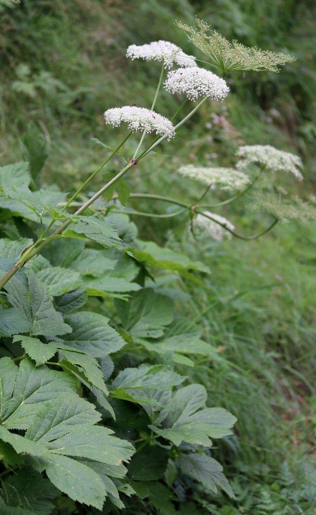 Peucedanum ostruthium (Masterwort)